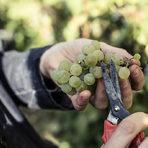 Всяка чепка грозде се почиства внимателно от гнили зърна по време на самата беритба.Цялата статия може да прочетете тук.