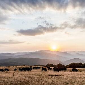 Най-доброто българско говеждо Блек Ангъс идва от полите на Стара планина