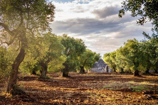 Маслиновите гори могат да се видят навсякъде из Пулия.Вижте цялата статия тук.
