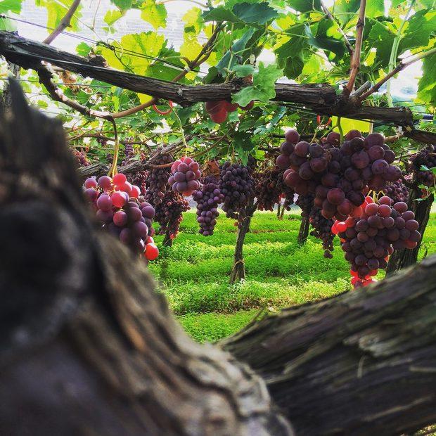 """Плътните, плодови ароматни сухи вина в Пулия добиват все по-голяма популярност в световните класации, начело с примитивото. Дошлият от Хърватия през XVIII век сорт tribidag е намерил свой комфортен втори дом в района около градовете Таранто и Мандурия, а през XIX век прави още едно пътуване по време на масовите преселвания на италианци към САЩ, които го засяват в Калифорния и там става """"царят на сортовете"""" zinfandel.Вижте цялата статия тук."""