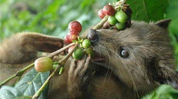 Мусангът обича да яде сочните червени плодове на кафето, но не може да смели зърната в сърцевината им и ги изхожда цели. След тази