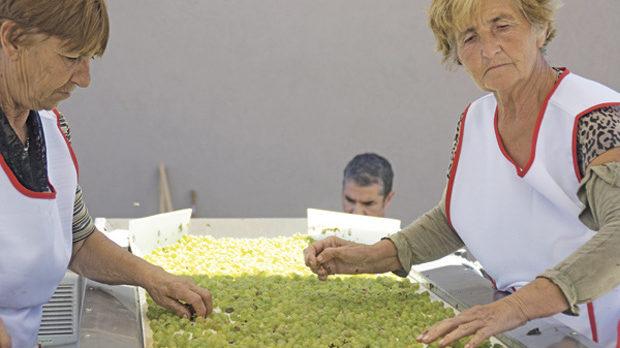 Едната от лентите за ръчно селектиране на гроздето в