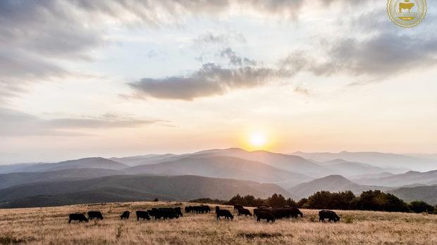 Породистите говеда Абърдийн Ангус пасат на поляните около връх Звездец