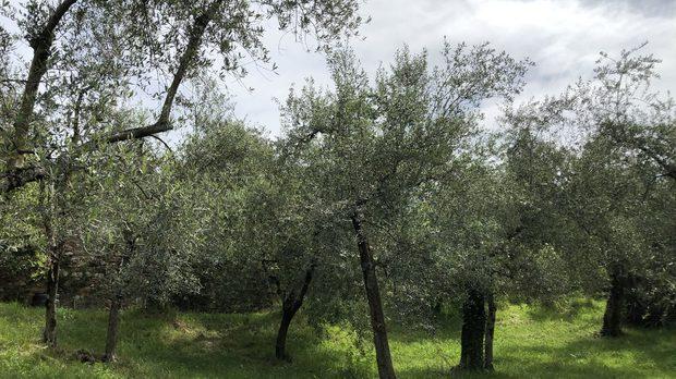 Здрава маслинова горичка в естествена екосистема